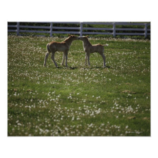 Two colts in field poster