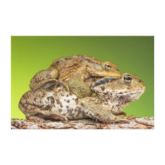 Two Common Toads Bufo Bufo Together Canvas Prints