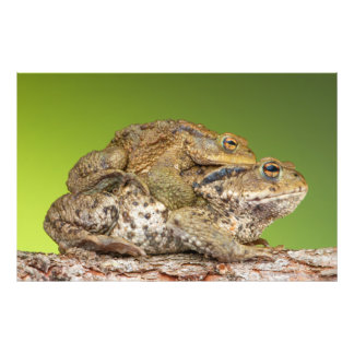 Two Common Toads Bufo Bufo Together Art Photo