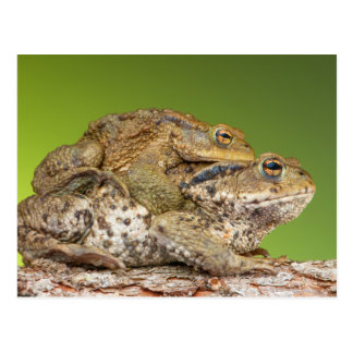 Two Common Toads Bufo Bufo Together Postcard