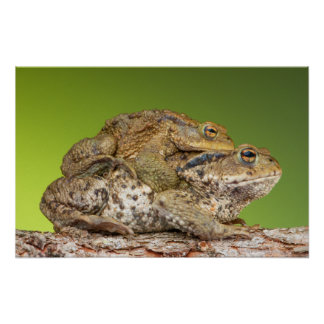 Two Common Toads Bufo Bufo Together Poster