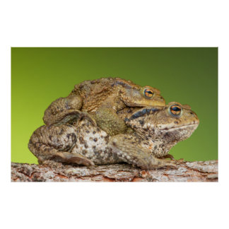 Two Common Toads Bufo Bufo Together Print