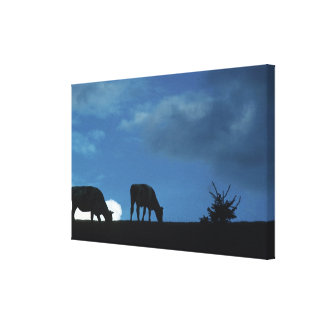 Two cows in silhouette grazing on hillside canvas print