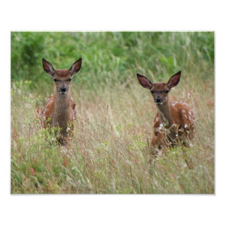 Two curious fawns. posters