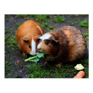 Two Cute Guinea Pigs Eating Veggies Post Card