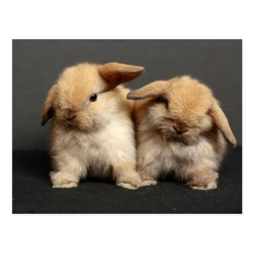 Two Cute Holland Lops Post Card