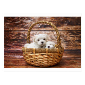Two cute Maltese puppies sitting in a basket Postcard