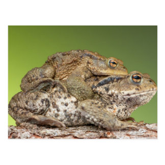 Two Cute Toads Postcard