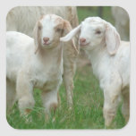 Two Cute White Baby Goats Square Sticker