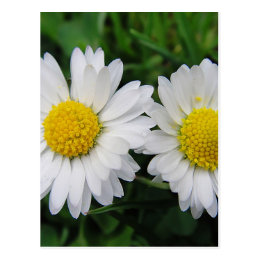 Two cute, white daisies postcard