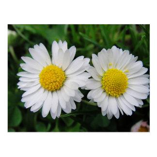 Two cute, white daisies postcard