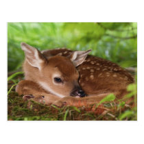 Two day old White-tailed Deer baby, Kentucky. Postcard