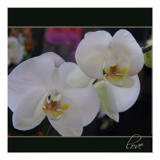 Two Delicate White Orchid flowers Poster