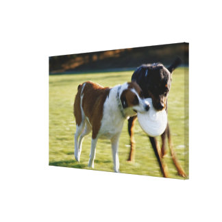 Two Dogs Fighting over Plastic Disc Canvas Print
