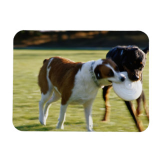 Two Dogs Fighting over Plastic Disc Magnet