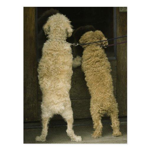Two dogs looking in door window, rear view postcard