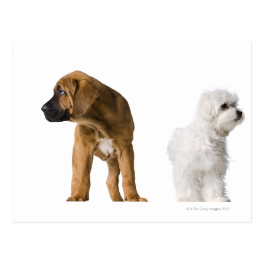 Two Dogs Postcard