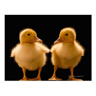 Two ducklings looking at one another postcard