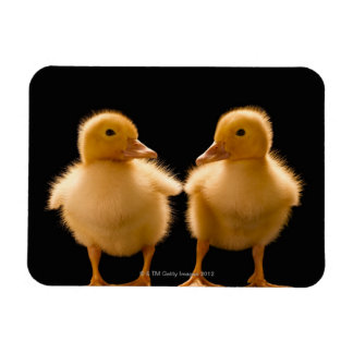 Two ducklings looking at one another rectangular photo magnet