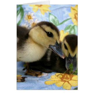 two ducklings one eyeing camera close greeting card