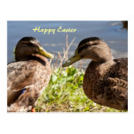 Two ducks happy easter postcard