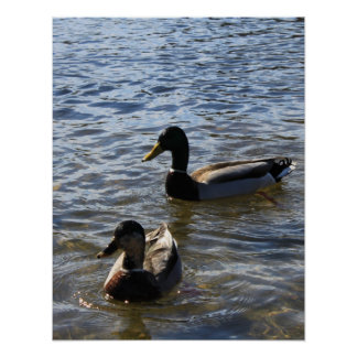 Two ducks in water, wild animal photograph poster