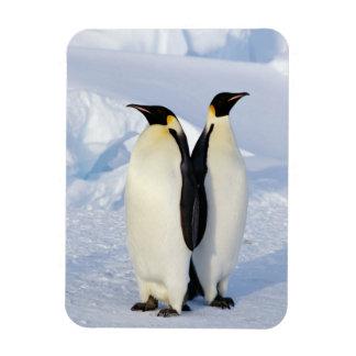 Two Emperor Penguins in Antarctica Magnets