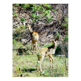 Two Fawns Postcard