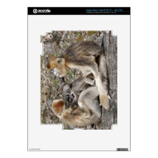 Two female Golden Monkeys with newborns Decal For iPad 3