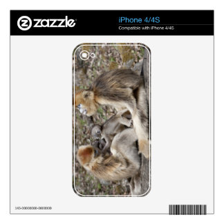 Two female Golden Monkeys with newborns Decal For The iPhone 4S