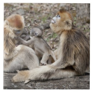 Two female Golden Monkeys with newborns Large Square Tile