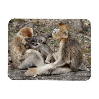 Two female Golden Monkeys with newborns Magnet