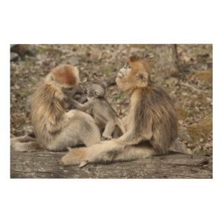 Two female Golden Monkeys with newborns Wood Print