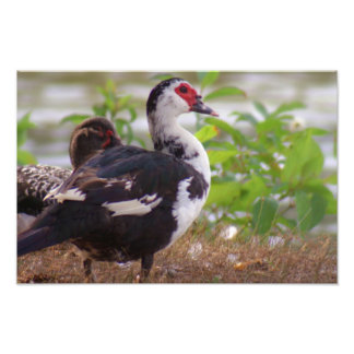 Two Female Muscovy Photograph