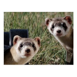 Two Ferrets Postcard