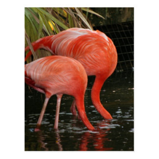 Two flamingoes with heads in the water postcard