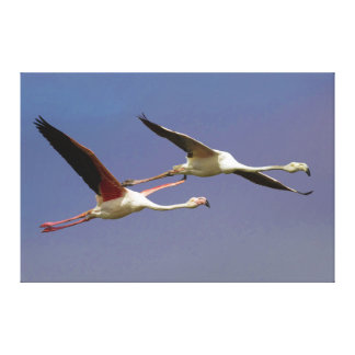 Two Flying Greater Flamingos Phoenicopterus Roseus Canvas Print