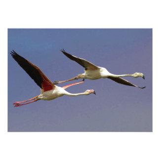 Two Flying Greater Flamingos Phoenicopterus Roseus Invitation