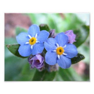 Two Forget-Me-Nots 10x8 Photo Print