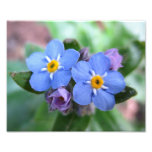 Two Forget-Me-Nots 10x8 Photograph