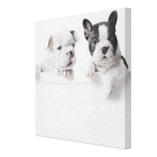 Two French Bulldog Puppies Peer Over A Wall Canvas Print