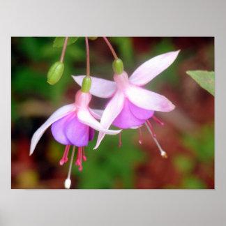 Two Fuschia Flowers Poster