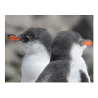 Two Gentoo Penguin Chicks Postcard
