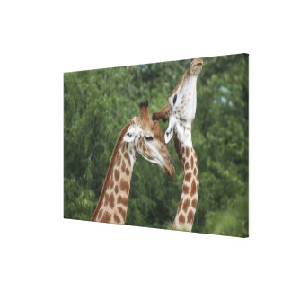 Two Giraffe (Giraffa camelopardalis) necking, Canvas Print