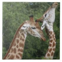 Two Giraffe (Giraffa camelopardalis) necking, Ceramic Tile