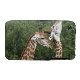 Two Giraffe (Giraffa camelopardalis) necking, iPhone 3 Cover