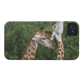 Two Giraffe (Giraffa camelopardalis) necking, iPhone 4 Case-Mate Case
