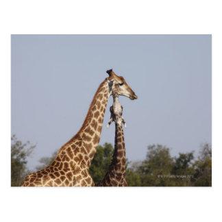 Two Giraffe,  Kruger National Park, South Africa Postcard