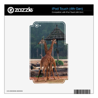 Two giraffes comforting each other in a zoo. decal for iPod touch 4G