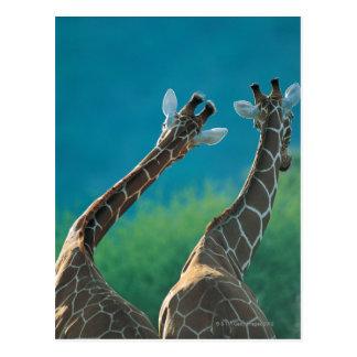 Two Giraffes (Giraffa camelopardalis) Postcard